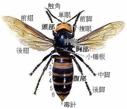 【死亡】オオスズメバチ、雀蜂の被害、撃退駆除方法、各テレビ局で何度も放送! - NAVER まと