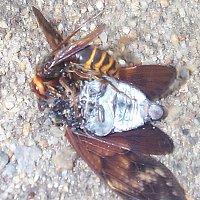 天敵 スズメバチ の